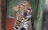 Su Kuyusuna Düşen Leoparı Kurtarma Operasyonu  Hindistan