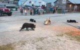 Üçlü Kıskaçla Kazları Hizaya Getiren Köpekler