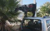 Arabaların Üzerinde Beslenen Keçiler  İzmir