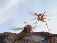 Eşek Arısı ile Arının Amansız Kavgası (Ağır Çekim)
