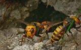 Bal Arılarının Dev Yaban Arısına Karşı Yuvayı Savunması