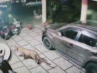 Leopar Saldırısından Yırtan Köpek
