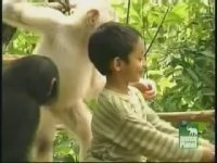 Beyaz Sempanze Pinky