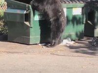 Çöp Konteynerlerini Kurcalayan Ayı