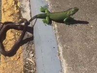 İguanayı Yiyemeyeceğini Anlayan Yılan