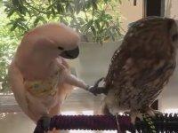 Kakadu'yu İplemeyen Baykuş