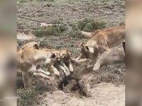 Yaban Domuzunun Yuvasına Baskın Yapan Aslan Ailesi