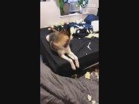 Yatak Odasını Dağıtıp Salağa Yatan Husky