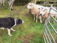 Çoban Köpeğinin Görevini Başarı ile Yerine Getirmesi