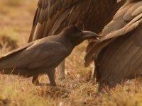 Akbabalara Piçlik Yapan Karganın Yolunu Bulması