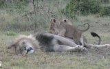 Babalarını Bir Türlü Uyutmayan Yavru Aslanlar