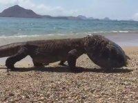 Komodo Ejderinin Kaplumbağa Avı