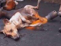 Köpek Eti Endüstrisi - Kore