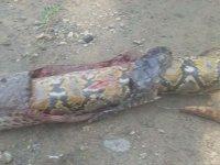 Pitonu Yerken Öldürülen Kobra