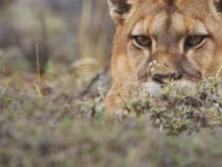 Puma Ailesinin Lama Avı