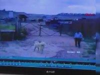 Bekçiyi Köpekten Kurtaran Köpek