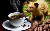 Kedi Dışkısından Üretilen Dünyanın En Pahalı Kahvesi Kopi Luwak