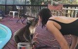 Su İçmek İçin Havuz Kenarına Gelen Koala