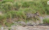 Zebra Avında Avucunu Yalayan Aslan