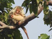 Ağaç Dalında Anne ve Yavru Bayağı Benekli Kuskus
