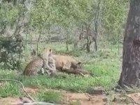 Leopar ile Sırtlan Arasındaki Tuhaf Kavga