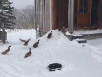 Karlı Havada Dışarı Çıktıklarına Pişman Olan Ördek Sürüsü