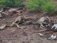 Uzakdoğu Çakma Tıbbının Son Kurbanı: Eşekler