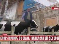 İneğe Trafik Cezası Kesmek (Kayseri)