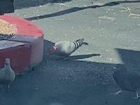 Güvercinlerin Kafaya Şapka Geçiren Manyak Herif