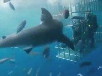 Kafesteki Dalgıçlara Saldırırken Pisi Pisine Ölen Köpek Balığı