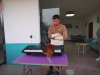 Org Çalan Tavuk