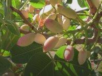 Sicilya'nın antep fıstığı- DW Türkçe