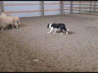 Başarıya İmza Atan Çoban Köpekleri