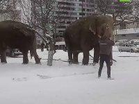 Sirkten Kaçan Filler Rusya Sokaklarında