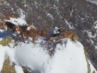 Av Köpeklerinin Köşeye Sıkıştırdığı Puma