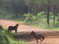 Leoparın Yol Kenarında Saklandığını Fark Edemeyen Çakal