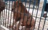 Kolunu Aslana Kaptıran Hayvanat Bahçesi Çalışanı