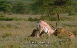 Yavrularına Nasıl Ceylan Avlanmayacağını Gösteren Çita