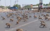 Corona Nedeniyle Şehir Merkezinde Aç Kalan Maymunların Çıldırması