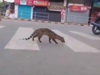 30 Yıldır Görünmeyen Misk Kedisinin Hindistan Sokaklarında Görülmesi