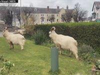 Terk Edilmiş Sokakların Keçileri