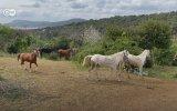 Adalar'da özgür atlar zamanı  DW Türkçe