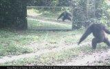 Ayna Karşısında Şempanzelerin Kendi Yansımalarına Tepkileri