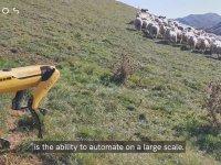 Çoban Köpekliği Yapan Robot