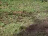 kareteci inek