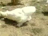 paçali tavuklar
