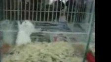 kolbastı oynayan fare