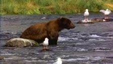 ayı balık avlama