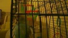 hacı (konuşan muhabbet kuşu)