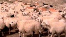 Koyunlar Ve Koç Katımı